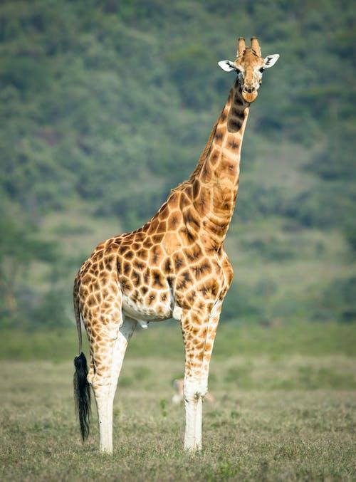 Foto d'estoc gratuïta de animal, animal salvatge, coll, fotografia d'animals