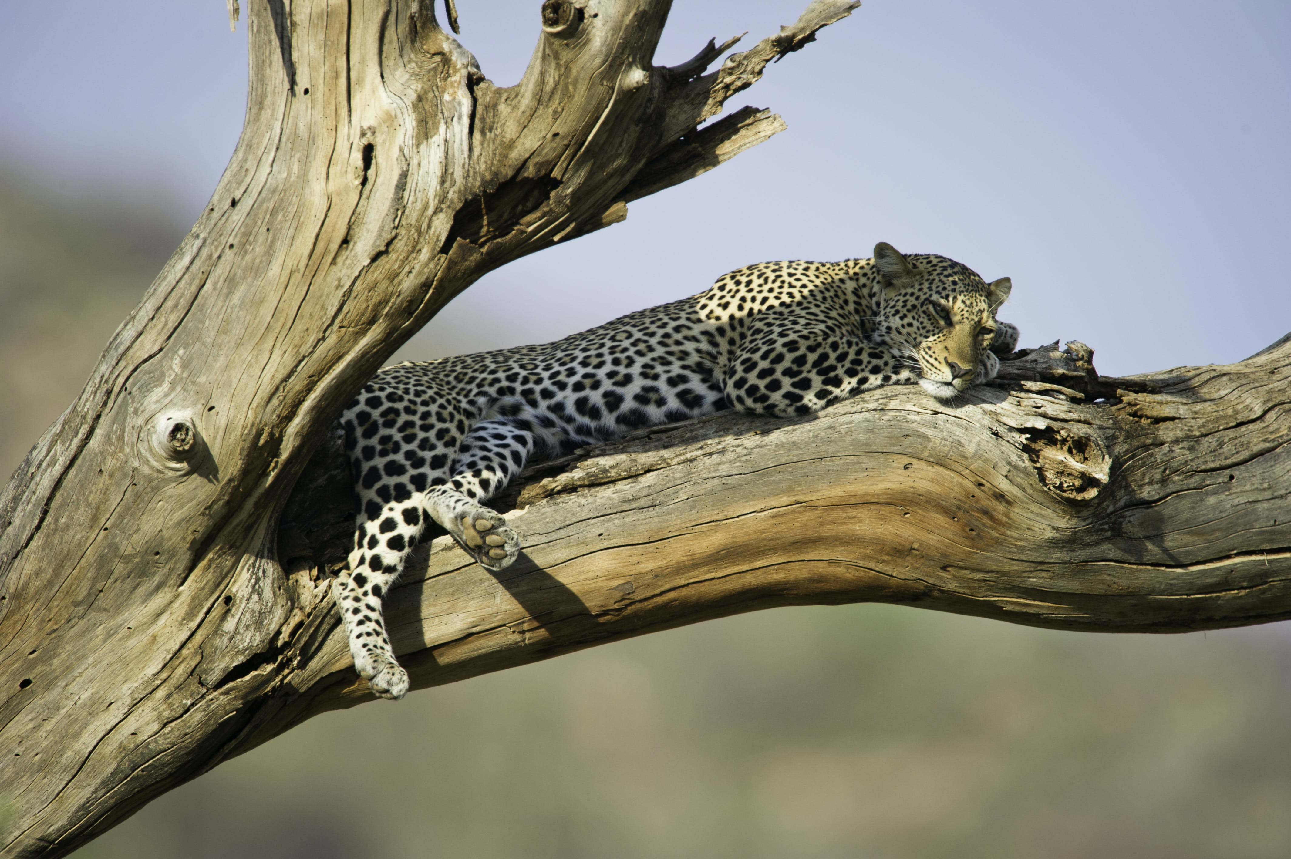Leopard Lying On Brown Wooden Tree