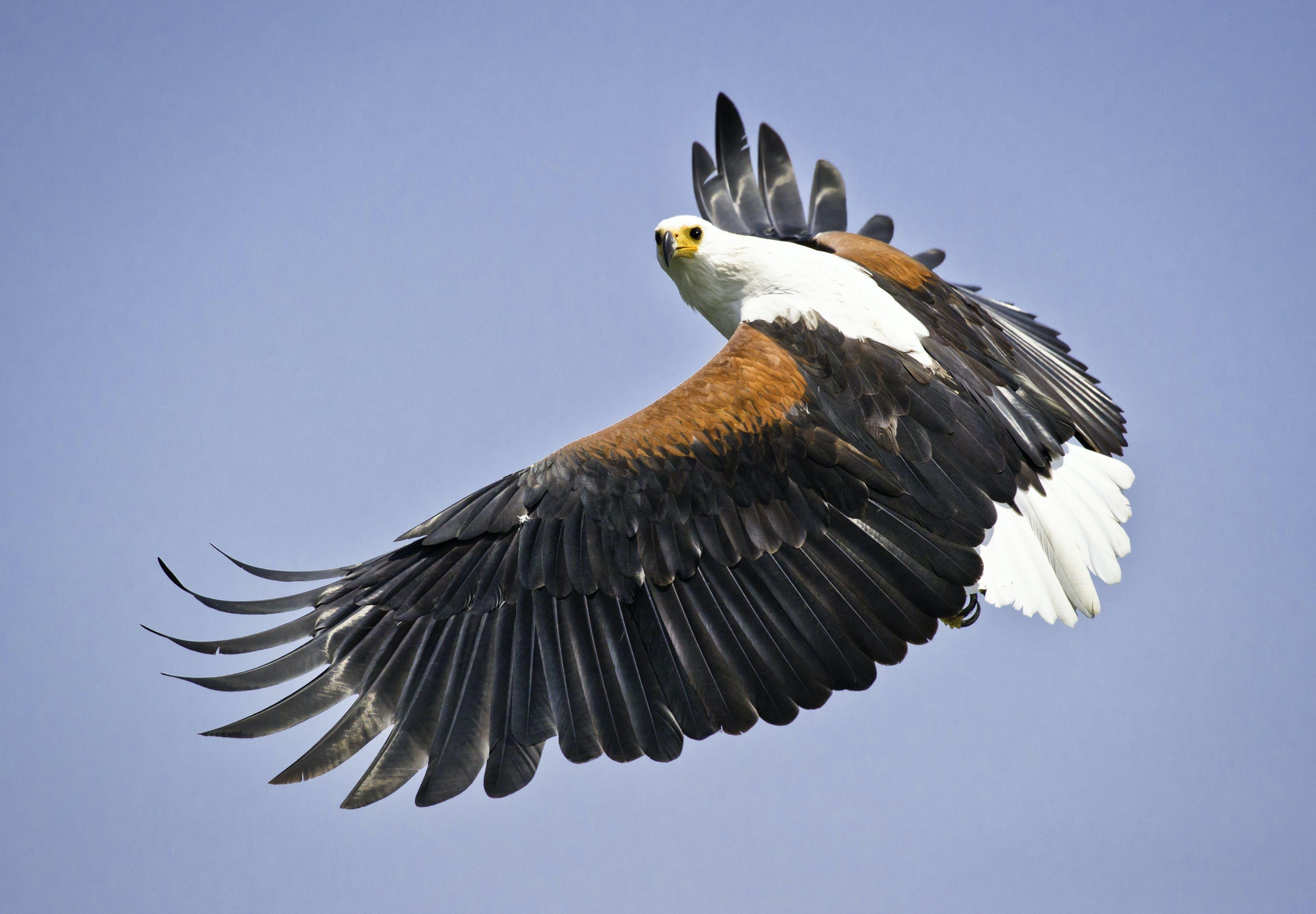 フライト, 動物, 猛禽, 羽毛の無料の写真素材