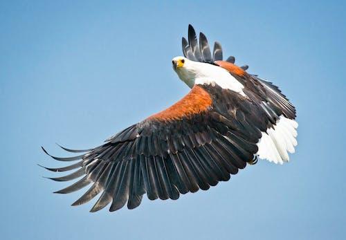 Kostnadsfri bild av djur, fjädrar, flyg, flygande