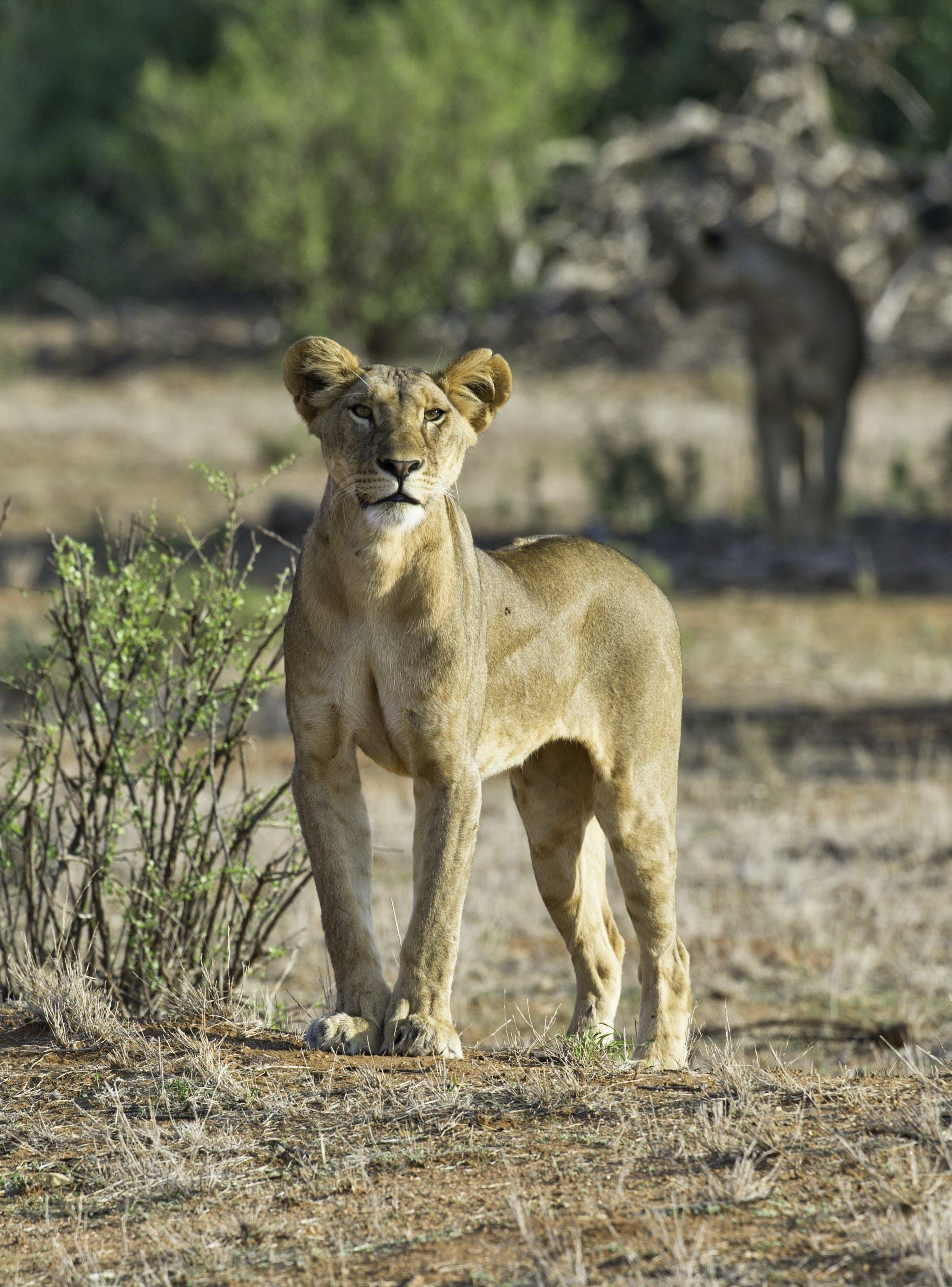 Foto stok gratis bahaya, binatang, binatang buas, bulu