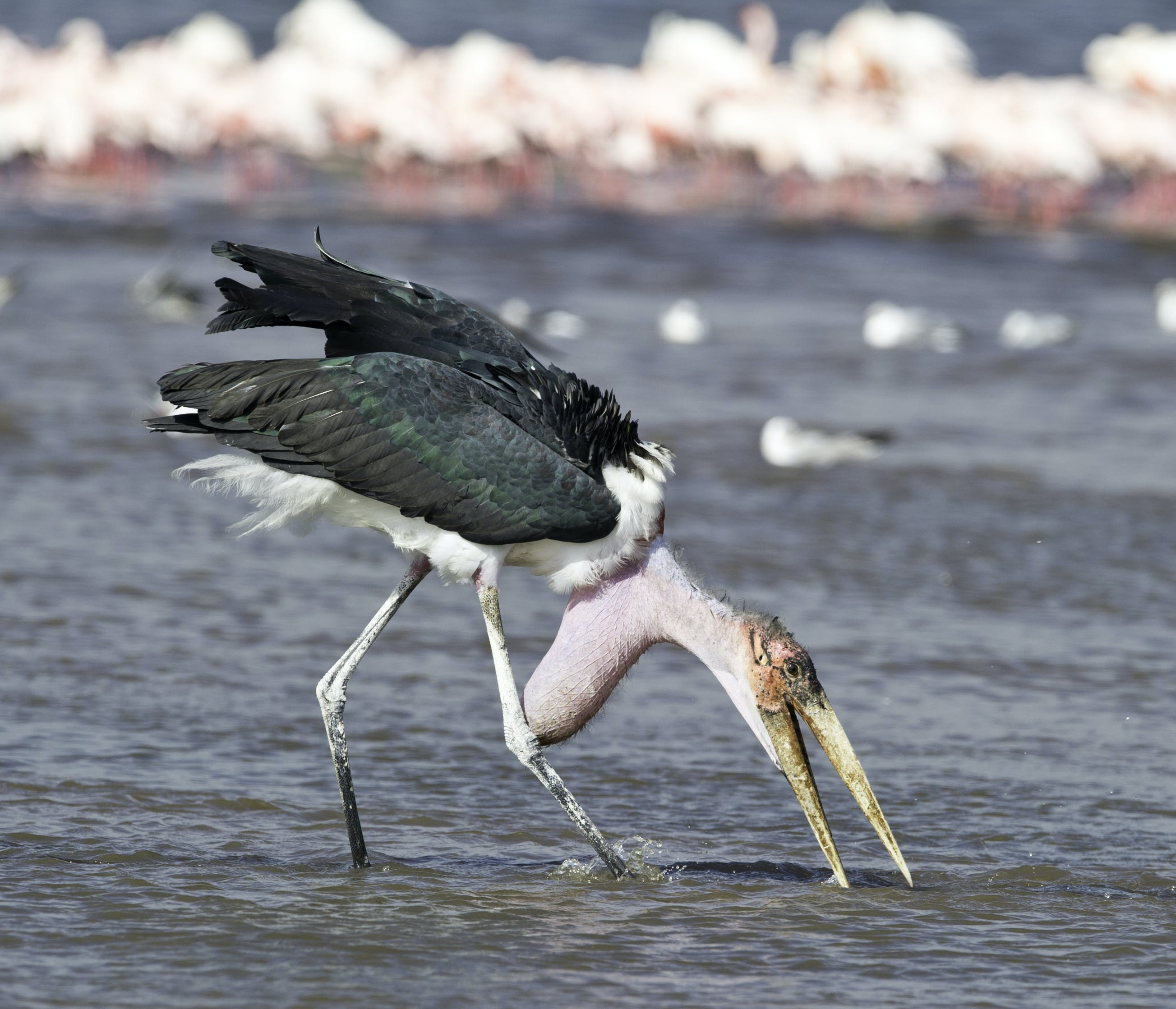 Marabou Stork Standing on Large Body of Water Selective Focus Photography