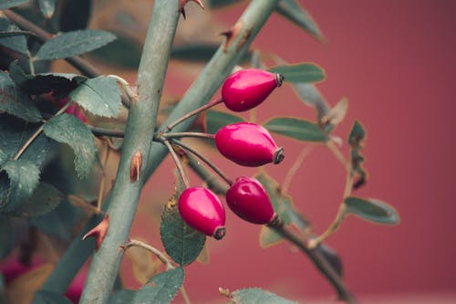 Fotos de stock gratuitas de baya roja, belleza en la naturaleza, fireberry, naturaleza