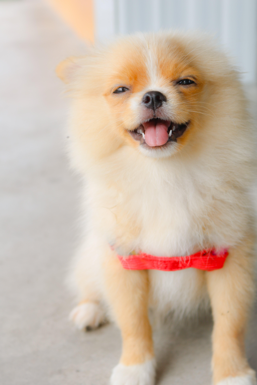 Darmowe zdjęcie z galerii z futro, mały, miniatura, pies