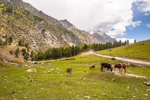 가축, 경치, 길기트, 동물의 무료 스톡 사진