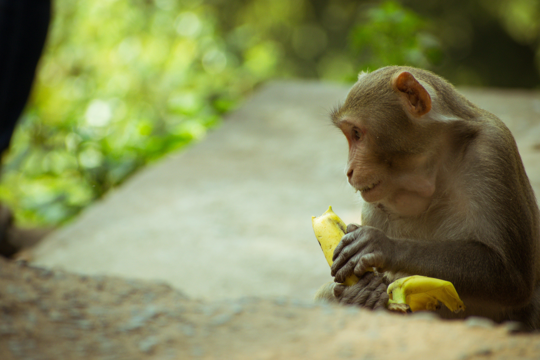Kostenloses Stock Foto zu affe, affe sitzend, affen essen, bananenblätter