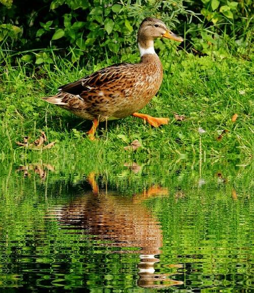 Бесплатное стоковое фото с вода, животное, оперение, отражение