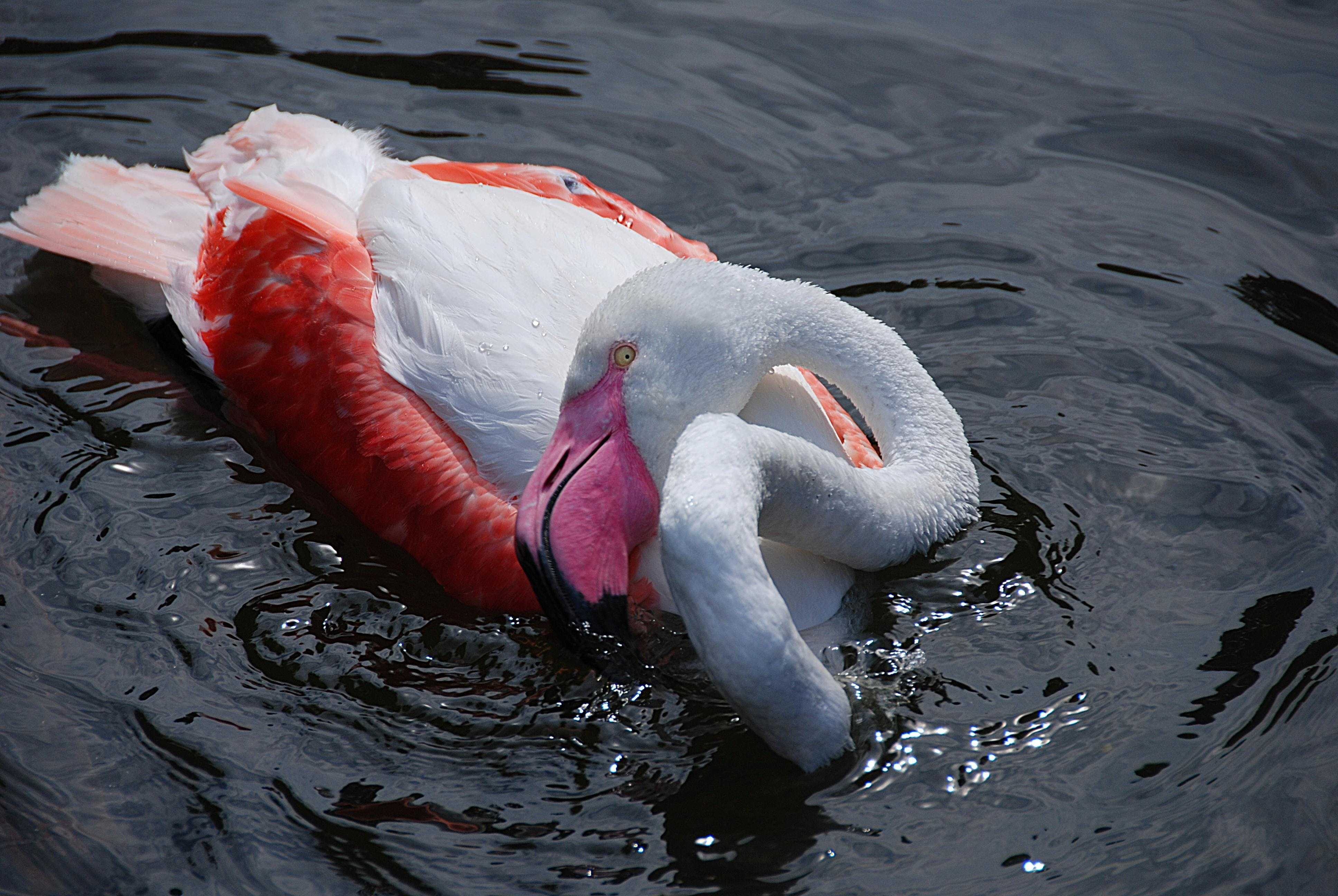 White and Red Swan on Body of Water
