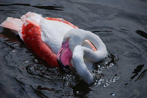 Gratis stockfoto met beest, dier, dieren in het wild, flamingo