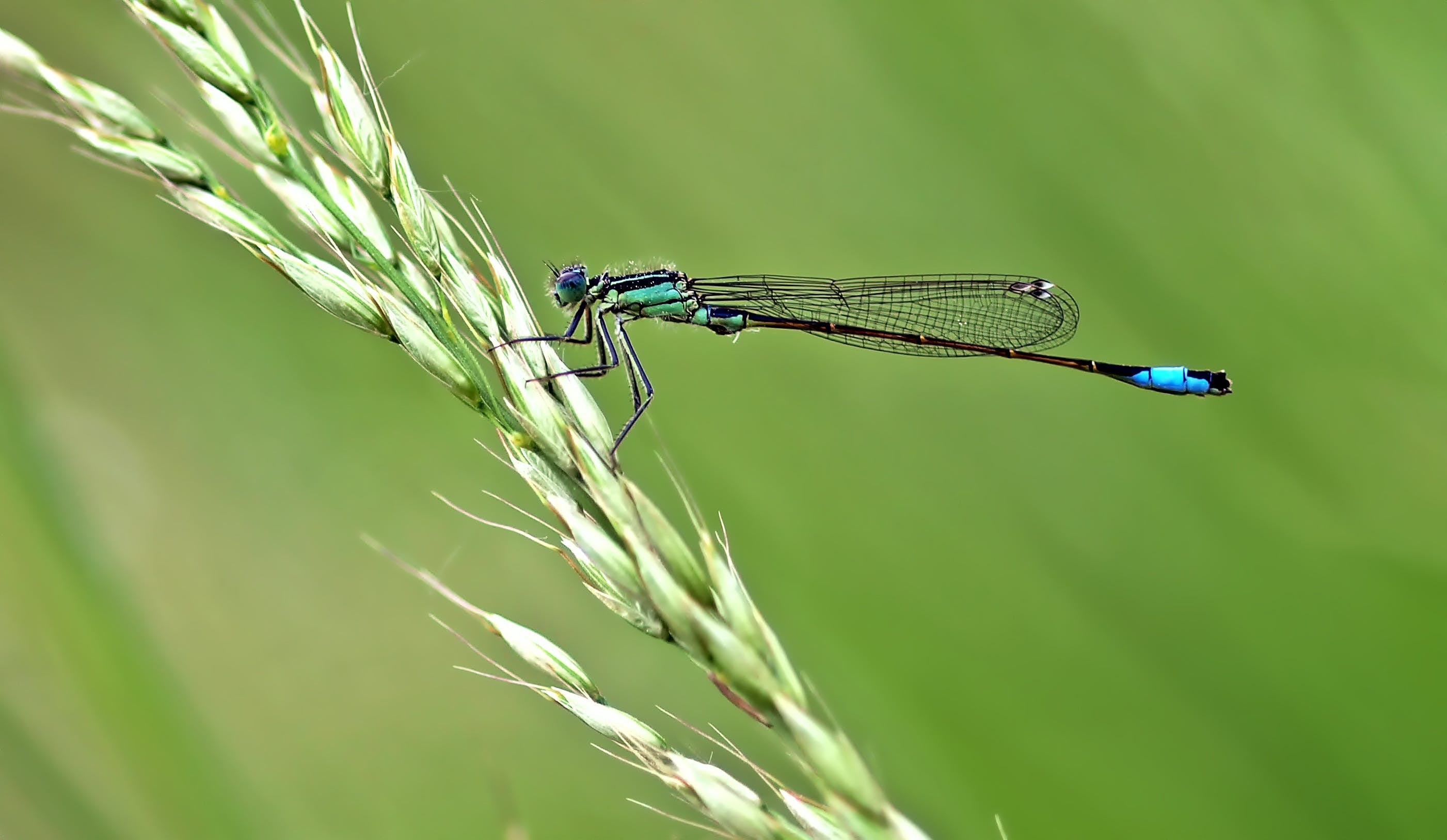Teal Damselfly Perched on Wheat