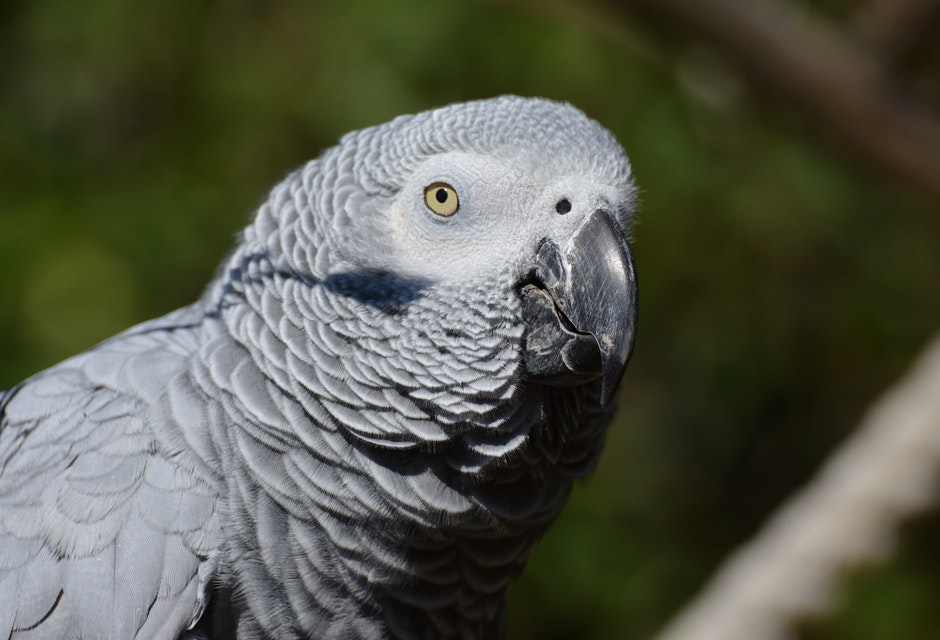 Loro Gris - Close Up Photography of Gray Bird during Daytime