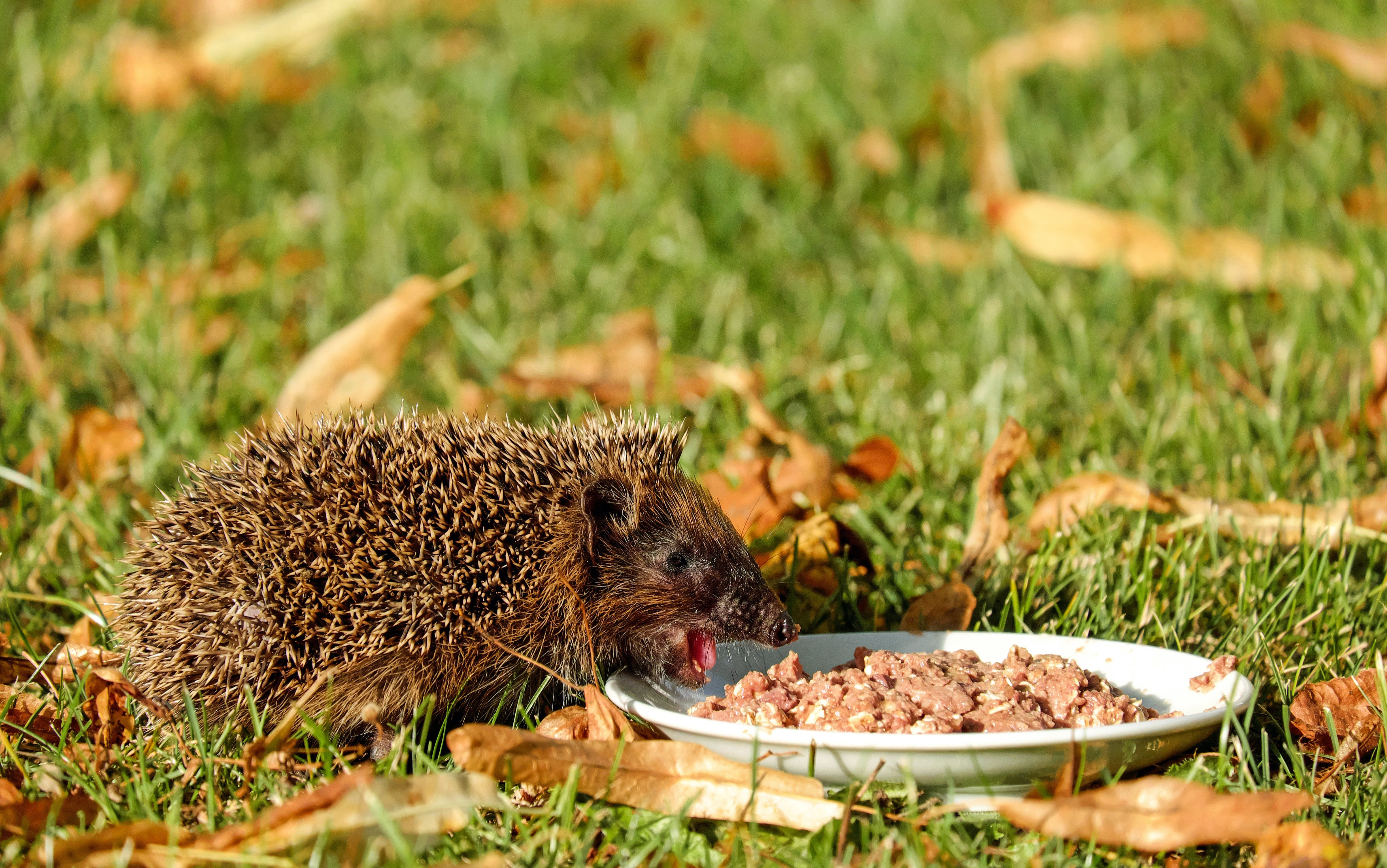 Brown Hedgehod About to Eat on White Ceramic Plate With Brown Dish on Green Grass Field