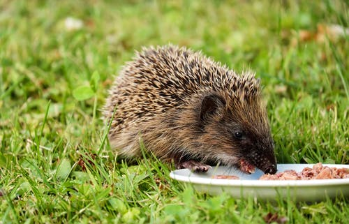 Gray and Black Hedgehog Eating on Plate