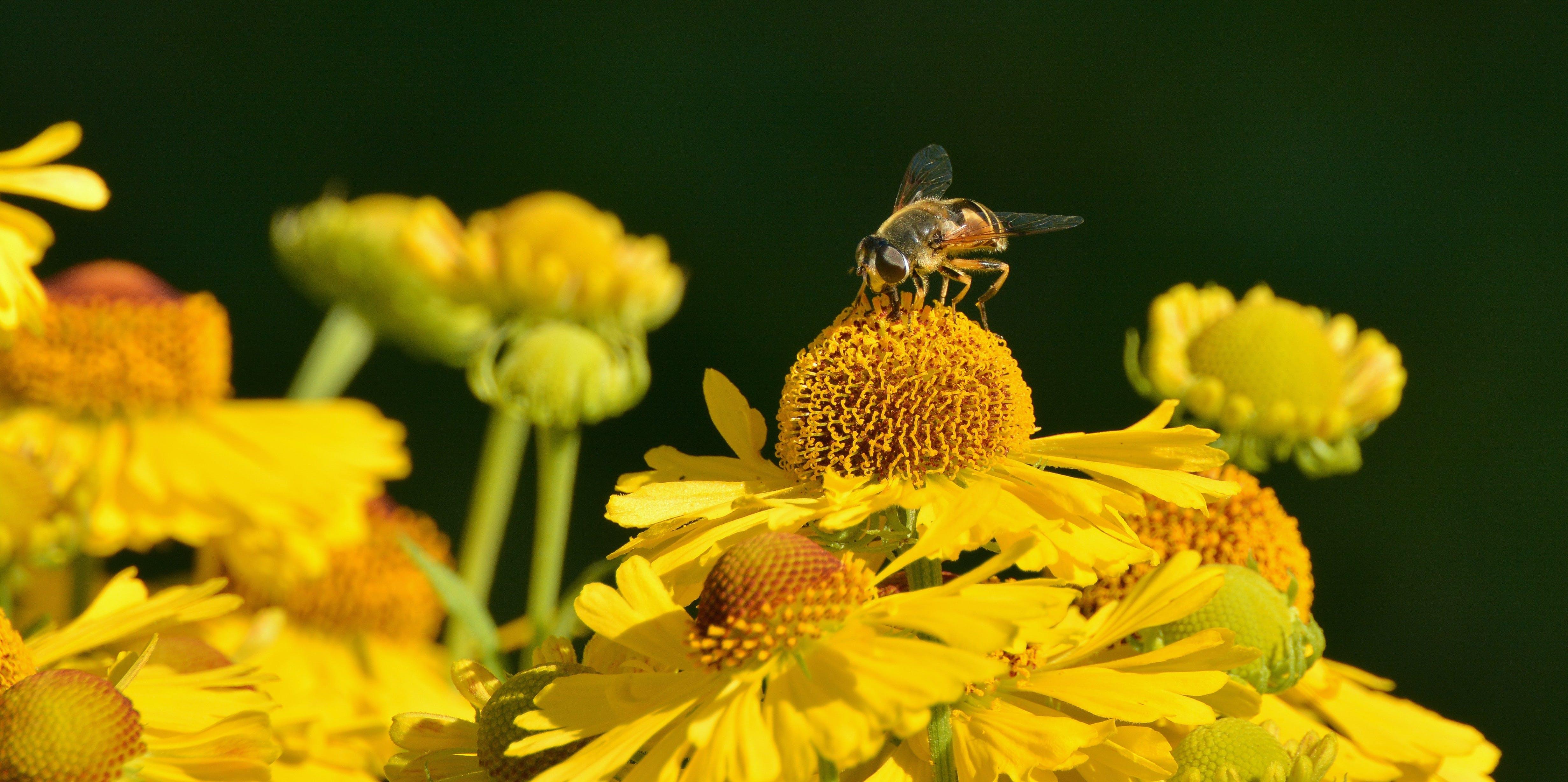 Yellow Honeybee on Yellow Petal Flower