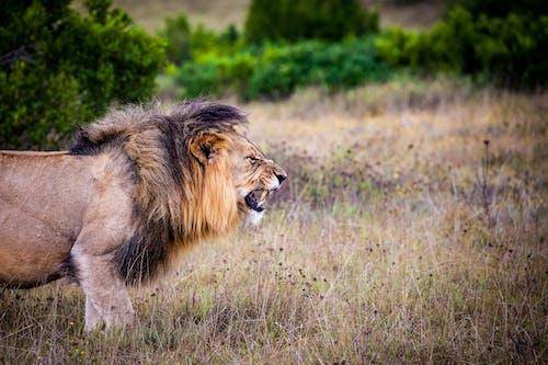 alan, aslan, çayır, çim içeren Ücretsiz stok fotoğraf