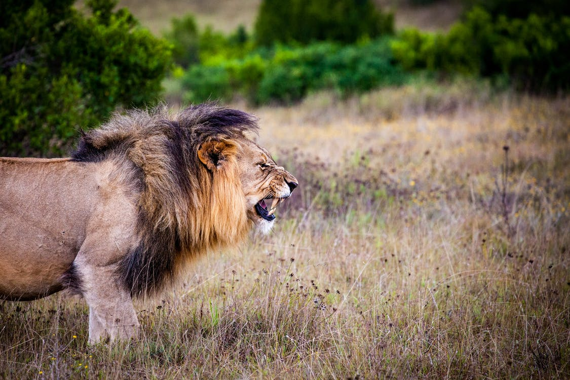 Brown and Black Lion on Brown Grass Field