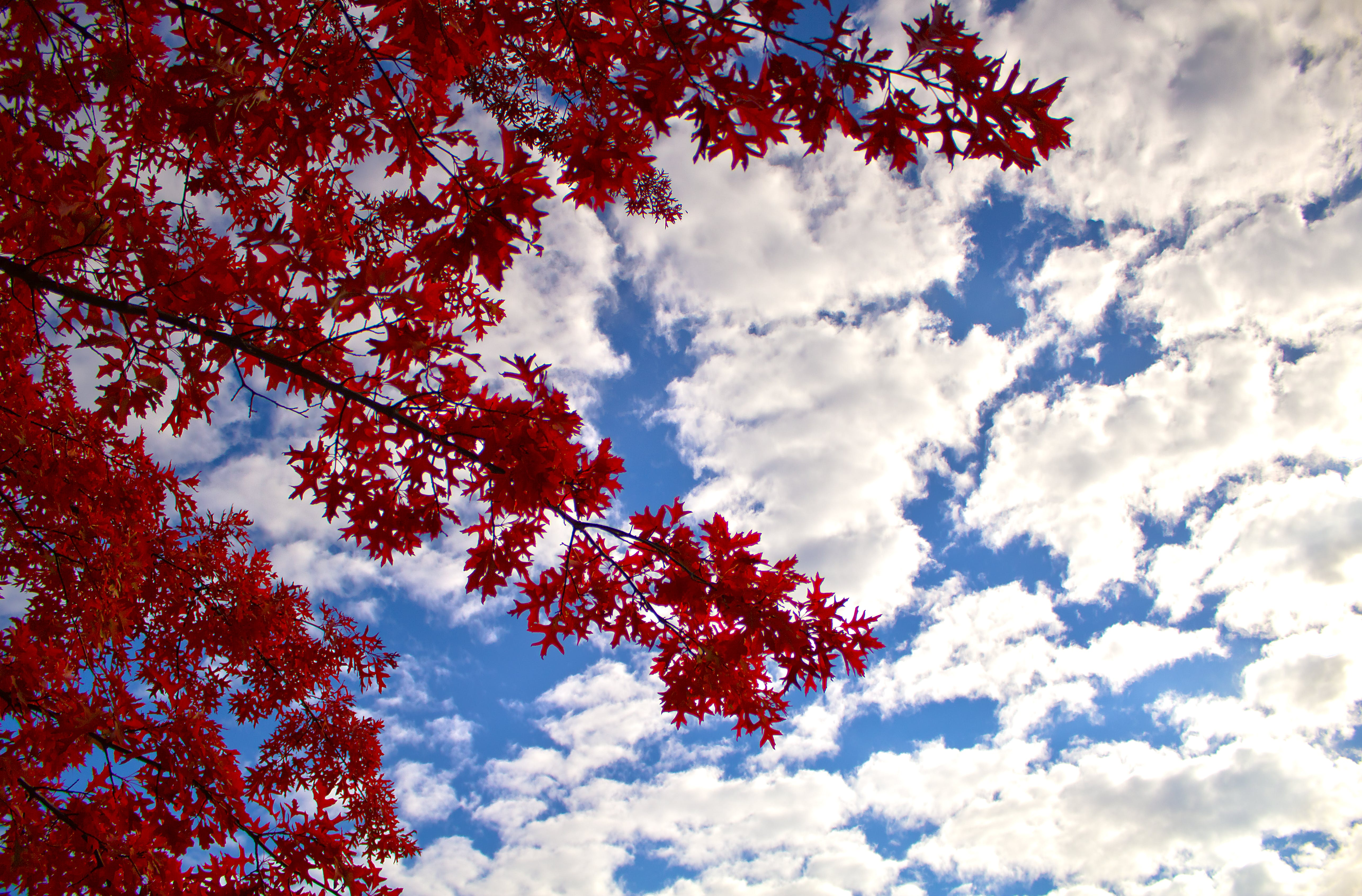Low Angle Photography of Red Leaf Tree Under Cloudy Blue Sky during Daytime