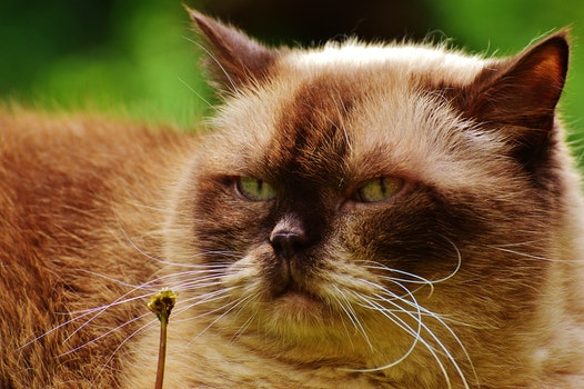 Black and Brown Himalayan Cat Close Up Photography