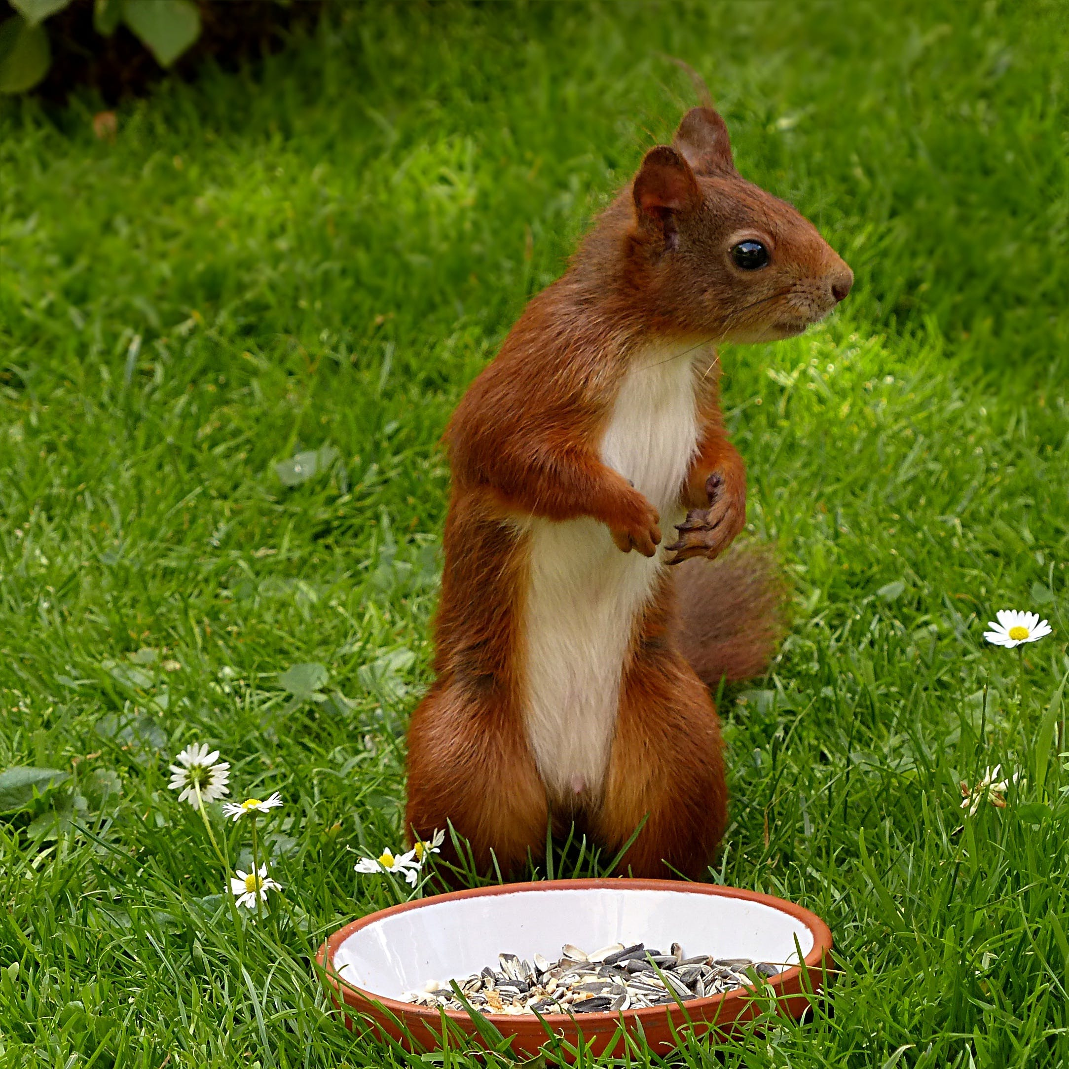 Brown and White Squirrel on Green Grass