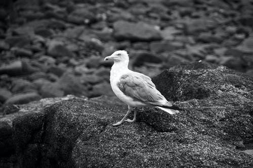 Ring-billed Gull Standing on Rock Grayscale Photography