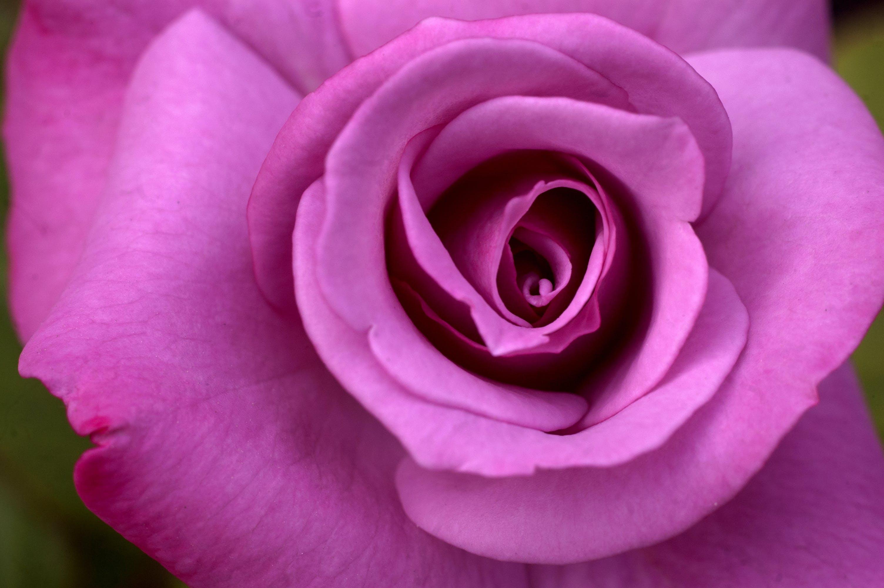 Free stock photo of Blooming Rose, petals, Pink Rose, rose