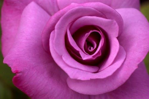Ingyenes stockfotó rózsa, Rózsaszín rózsa, szirmok, virágzó rózsa témában