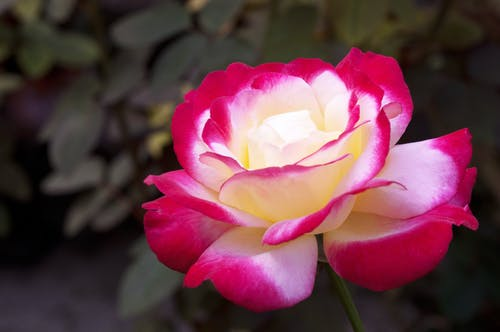 คลังภาพถ่ายฟรี ของ กุหลาบสีขาวสีเหลืองสีแดง, กุหลาบหลากสี, ดอกกุหลาบ