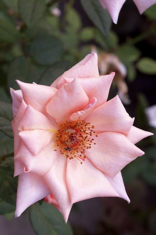 คลังภาพถ่ายฟรี ของ ดอกกุหลาบ