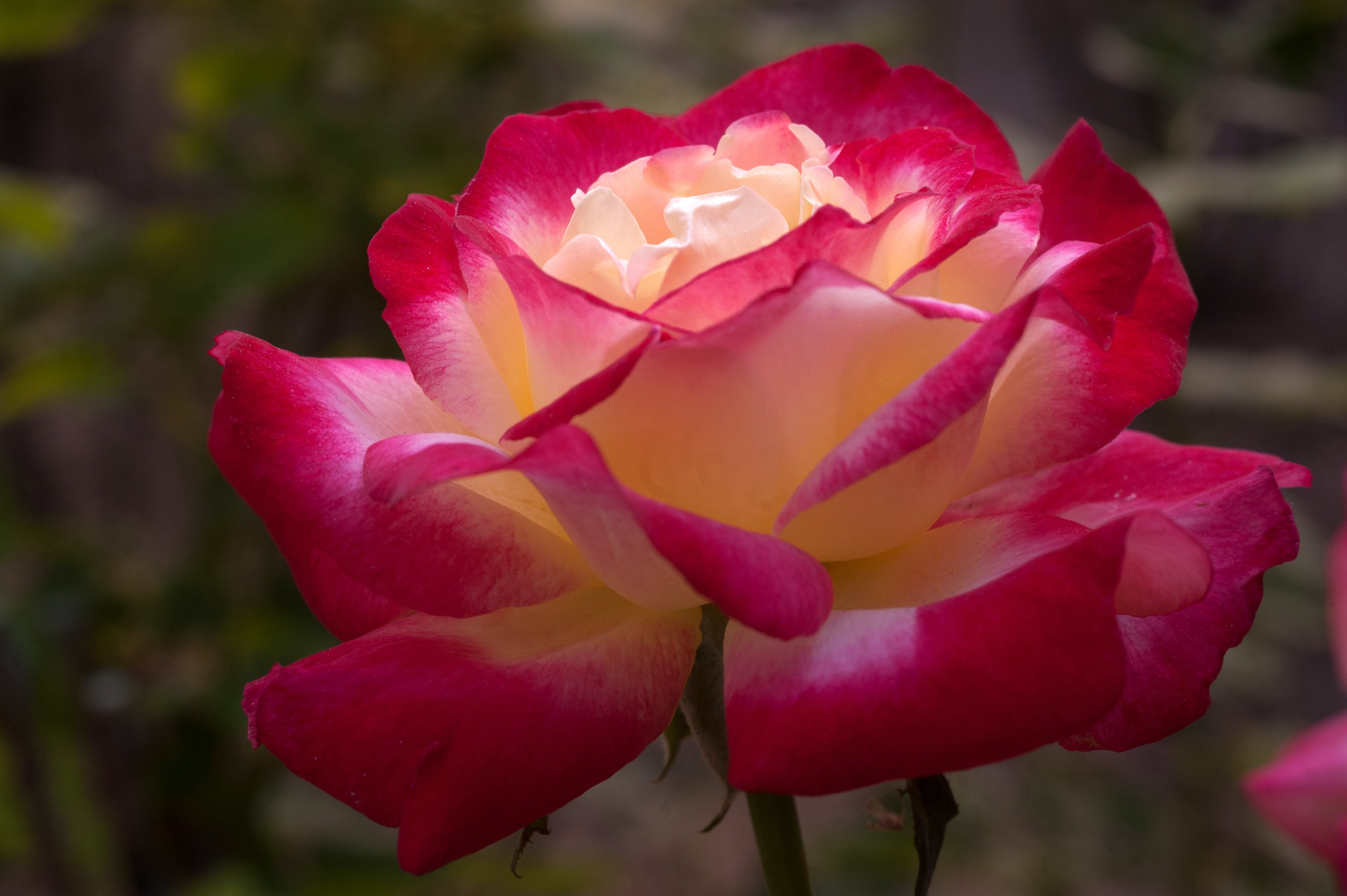 Free stock photo of Rose Multicolored