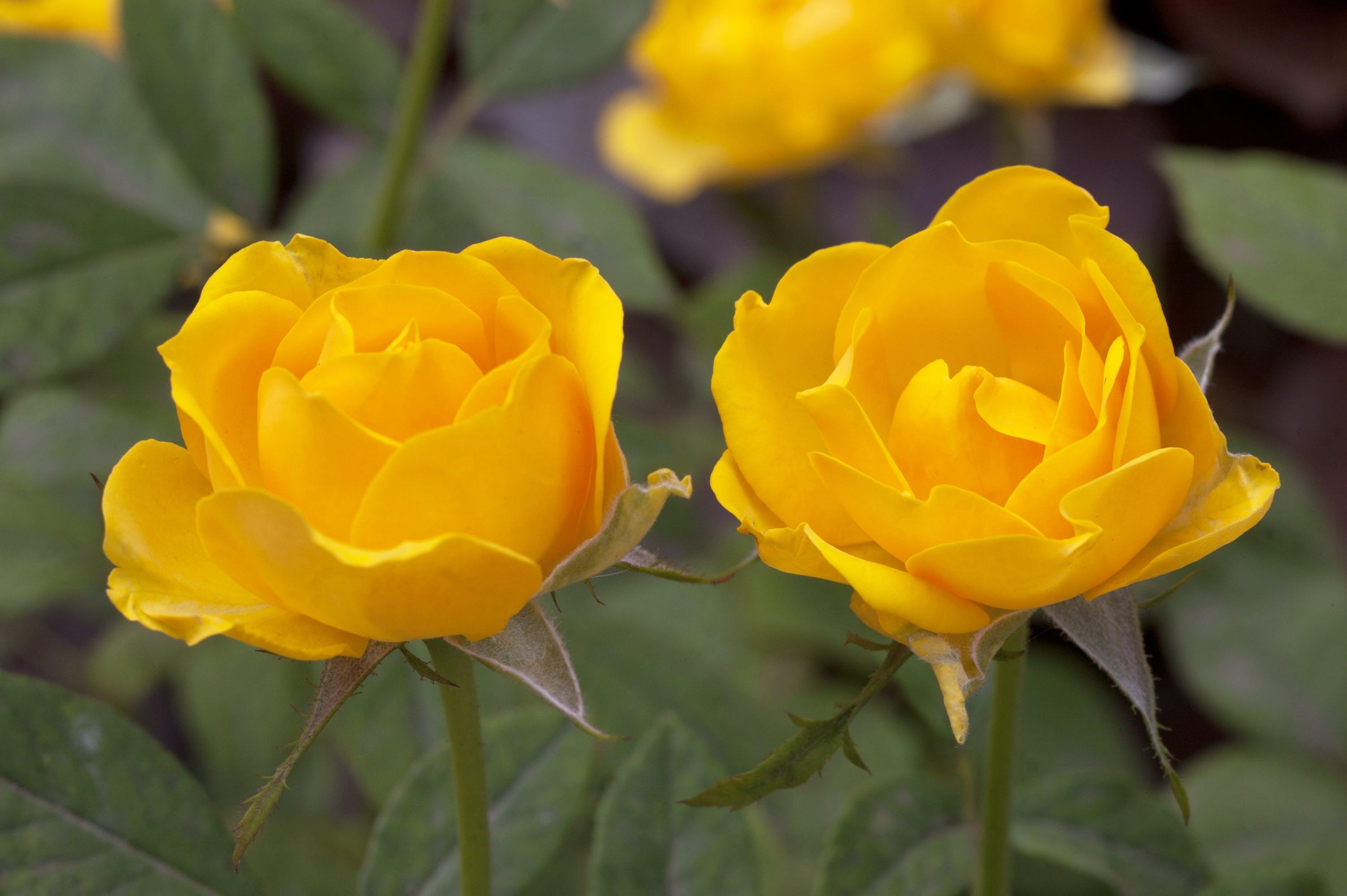 Free stock photo of Rose Yellow Rose