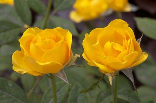Ingyenes stockfotó rózsa sárga rózsa témában