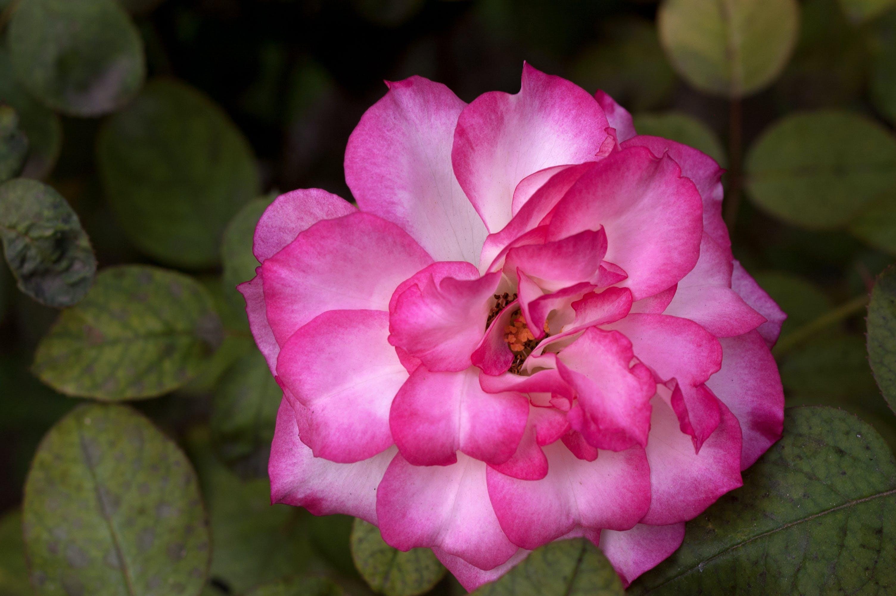 Free stock photo of rose, Rose pink