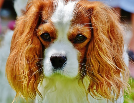 Tan and White Cavalier King Charles Spaniel