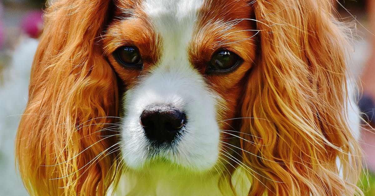Tan And White Cavalier King Charles Spaniel 183 Free Stock Photo