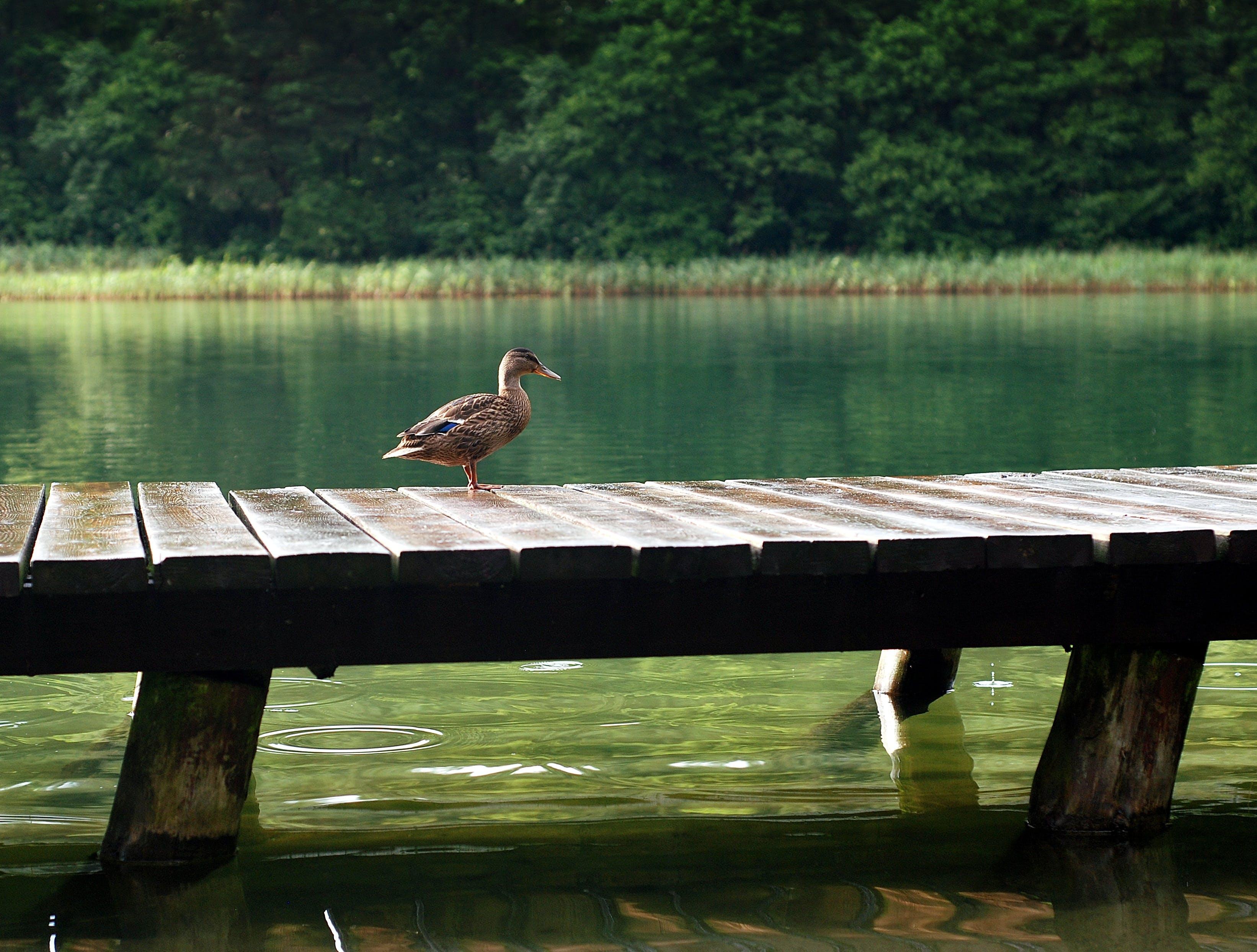Kostenloses Stock Foto zu holz, anlegesteg, vogel, wasser