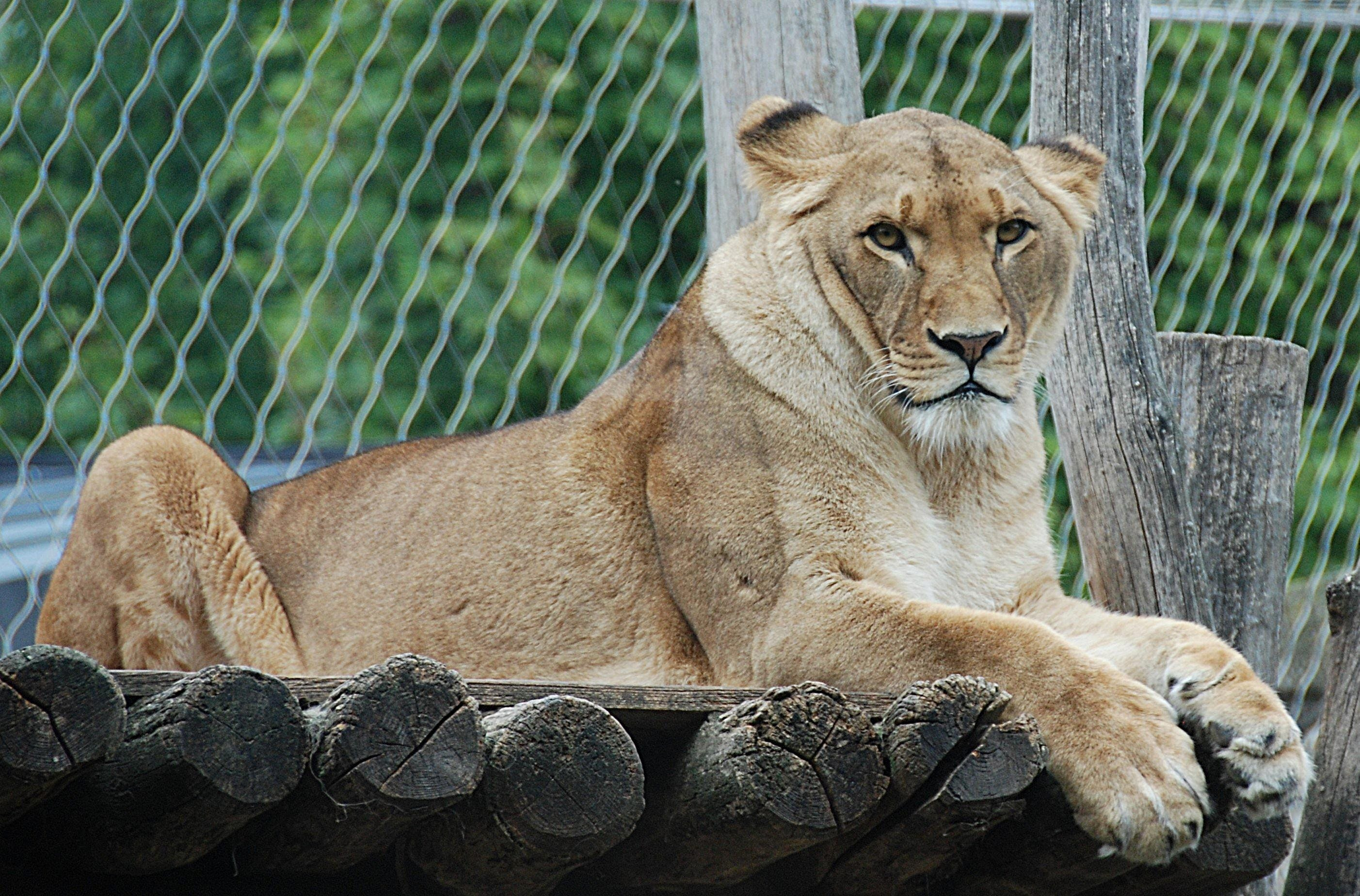 Free stock photo of cat, enclosure, lion, lying