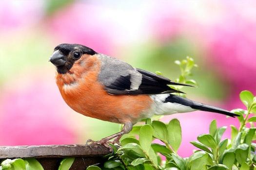 Orange and Grey Black Small Bick Bird
