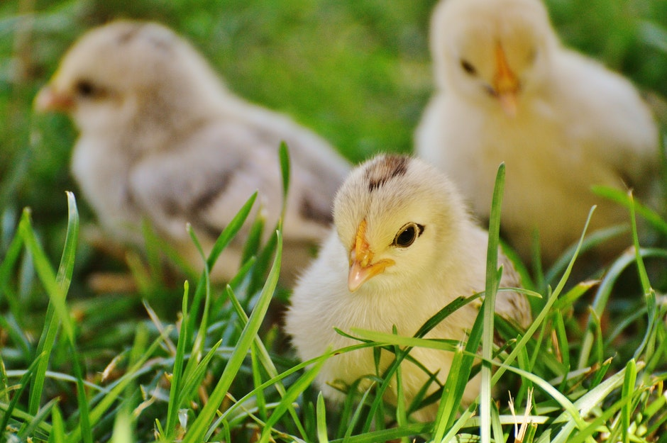 3 Chicks on Green Grass