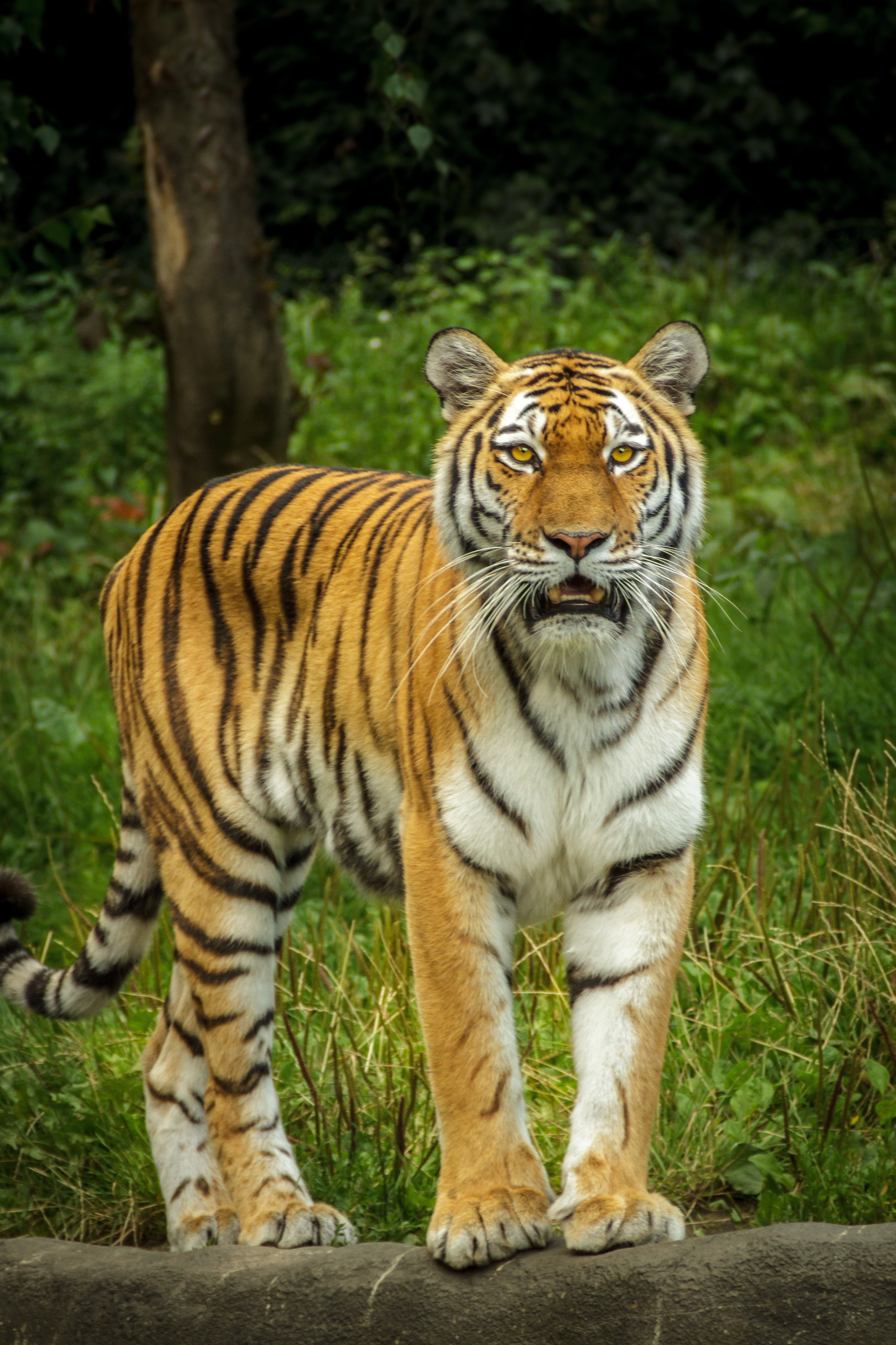tiger in green grass near the tree during daytime · free stock photo