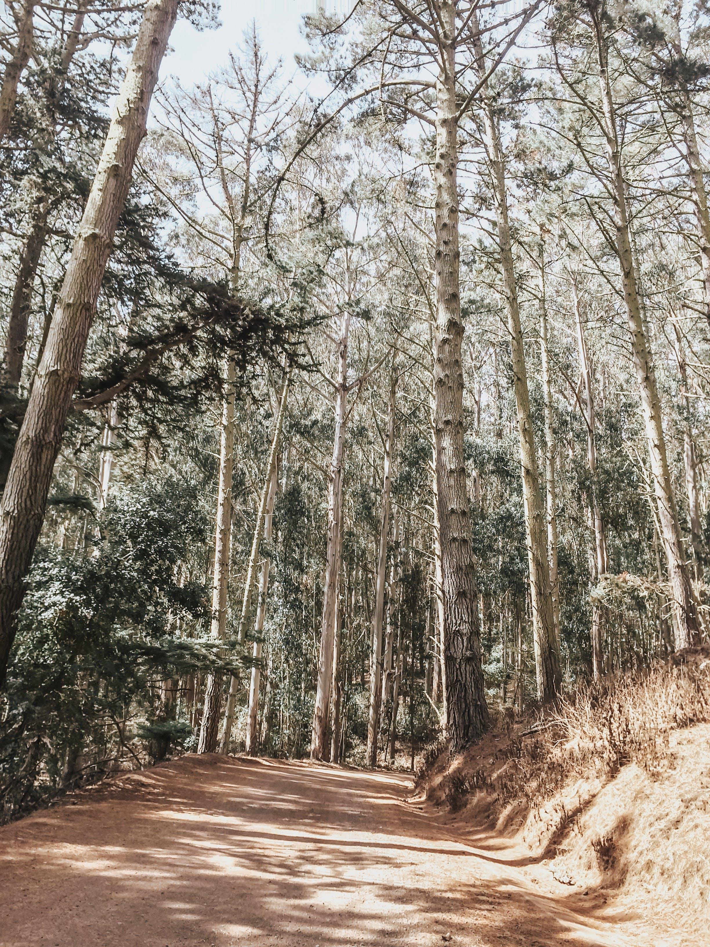 Základová fotografie zdarma na téma borovice, chodník, denní světlo, dřevo