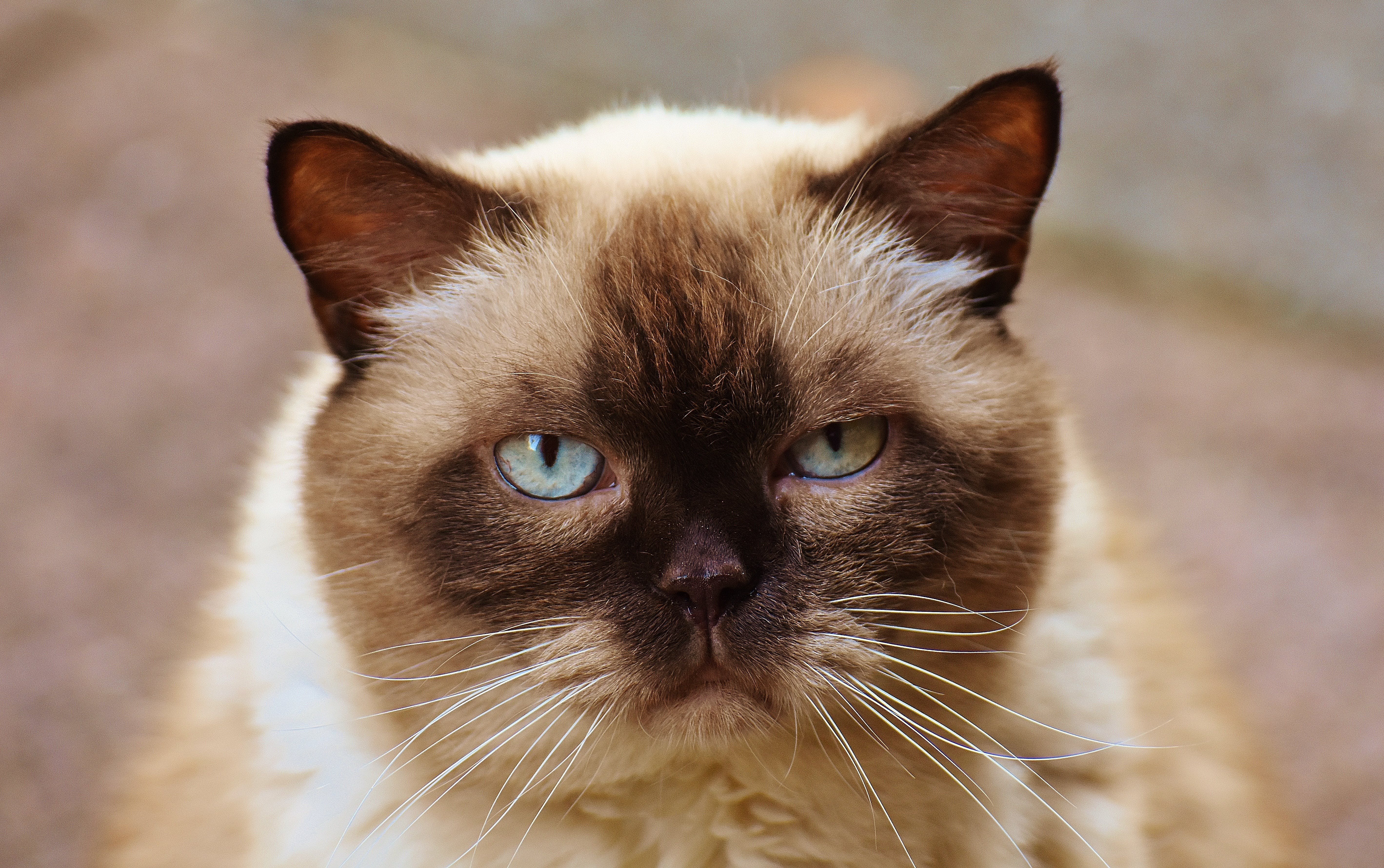 Close-up Photography of Himalayan Cat