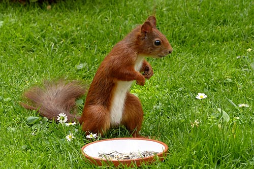 Brown Squirel Standing