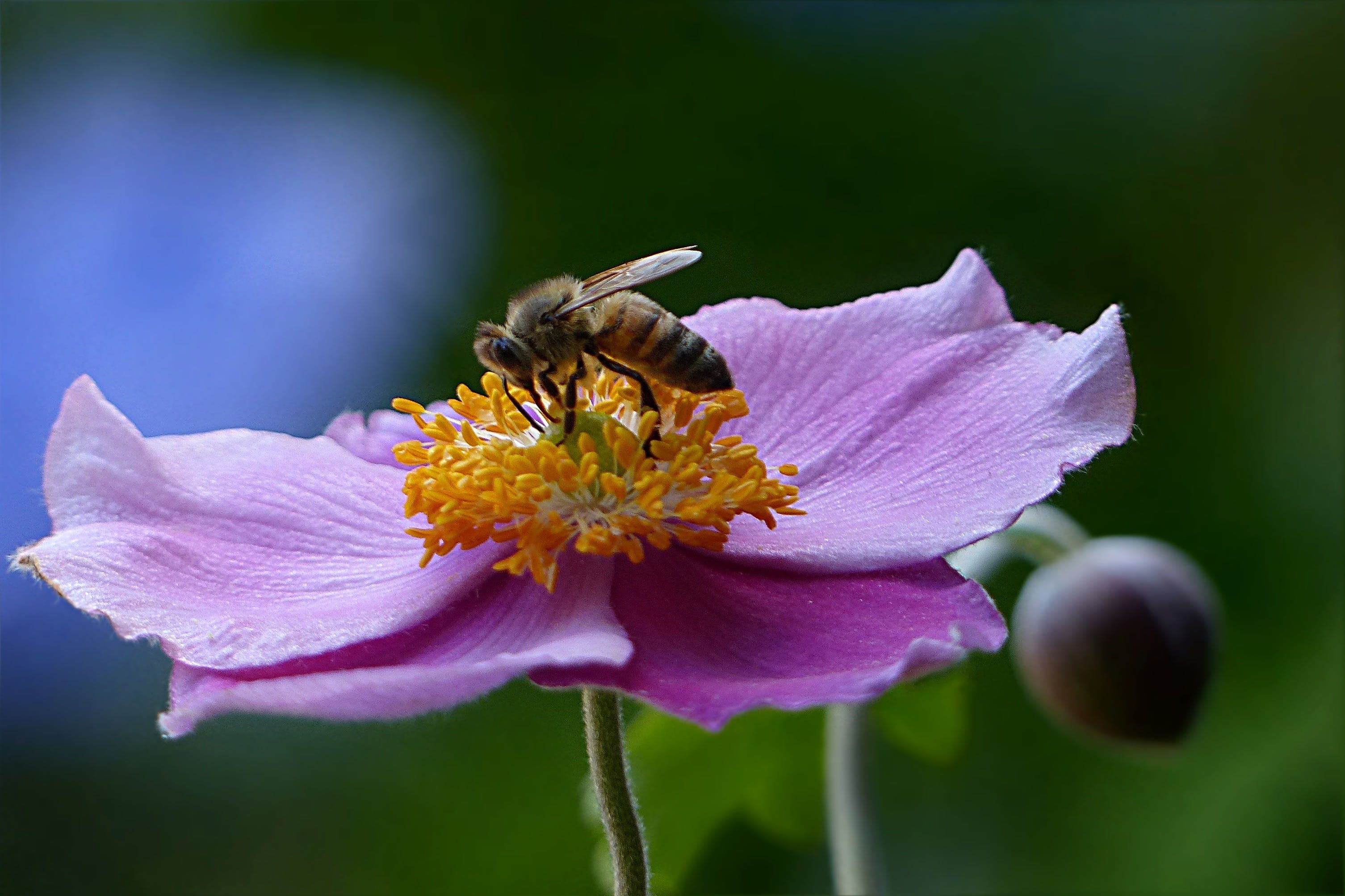 Free stock photo of garden, flower, bee, insect