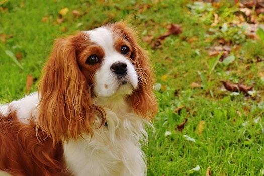 White and Chocolate Long Coat Dog