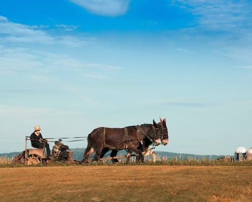 Gratis arkivbilde med amish land, gårdsdrift, muldyr