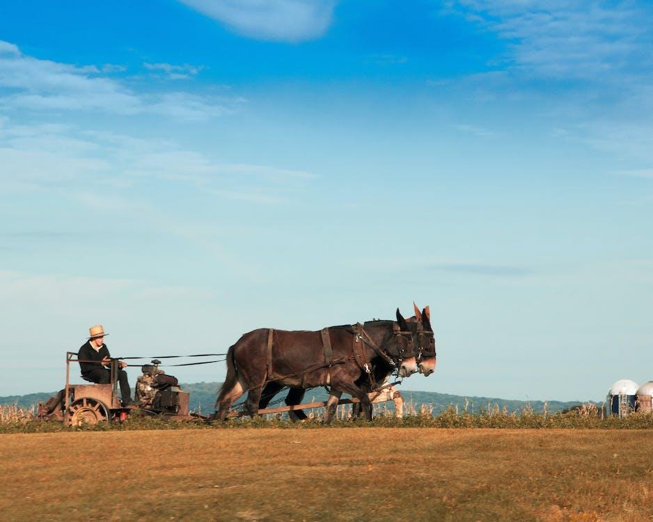 agricultura, mulas, país amish