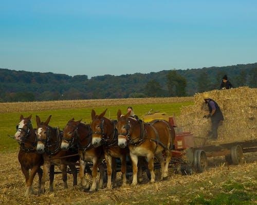 Gratis arkivbilde med amish, amish familie, gård, muldyr