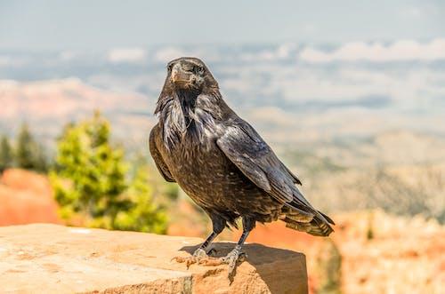 動物, 宏觀, 岩石, 烏鴉 的 免费素材照片