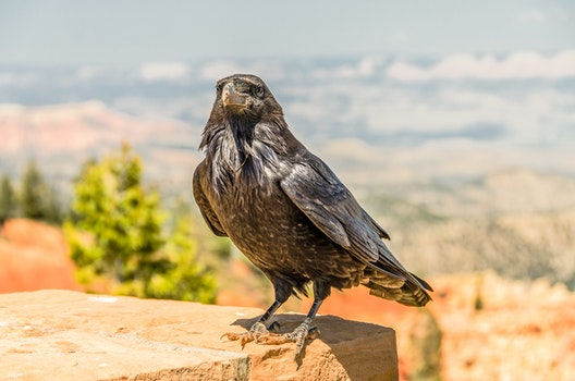 Grey and Black Crow during Daytime