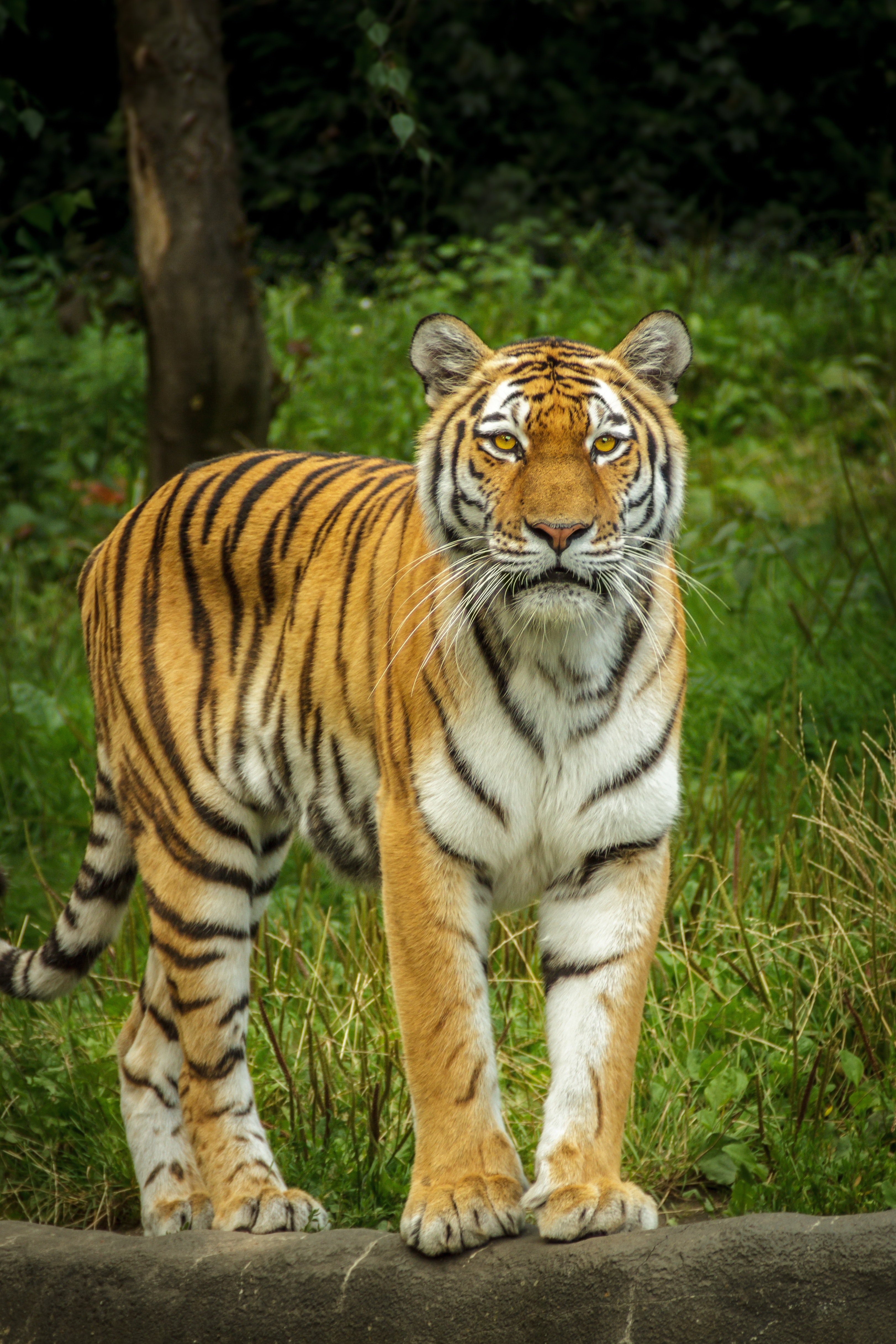 tiger standing on the grey concrete pavement free stock photo